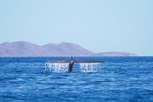 Whale watching Danzante Bay